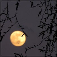 full_moon_moon_birch_236749